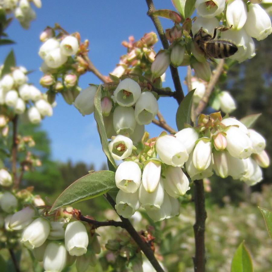 Heidelbeerblüte im Frühling mit Biene